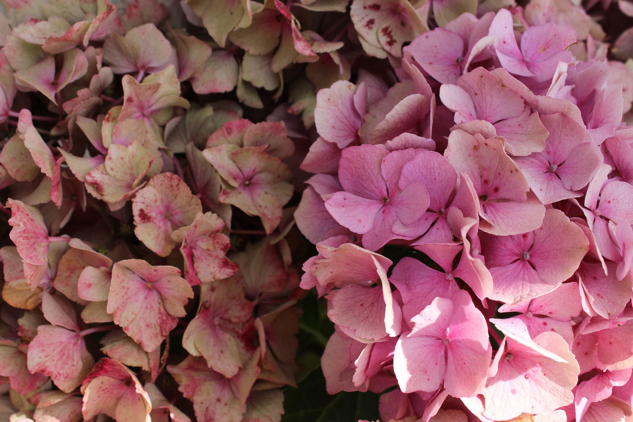 how to dry hydrangeas within these walls how to dry hydrange